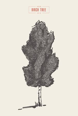 High detail vintage illustration of a birch tree, hand drawn, vector Ilustração Vetorial