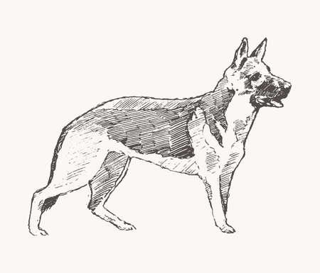 German Shepherd vector dog realistic sketch drawn