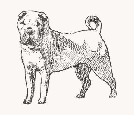 Shar Pei Hand drawn vector dog. Realistic sketch Illusztráció