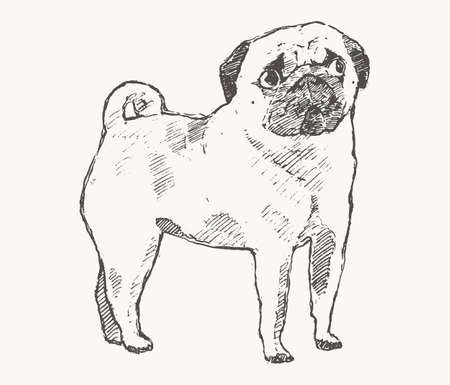 Pug. Hand drawn vector of a dog. Realistic sketch