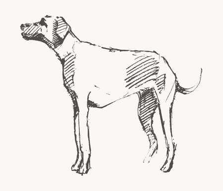 Hand drawn vector of a dog. Realistic sketch