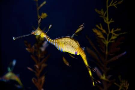 caballo de mar: Caballo de mar Foto de archivo