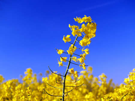 rapaseed: Rapaseed flower or conola