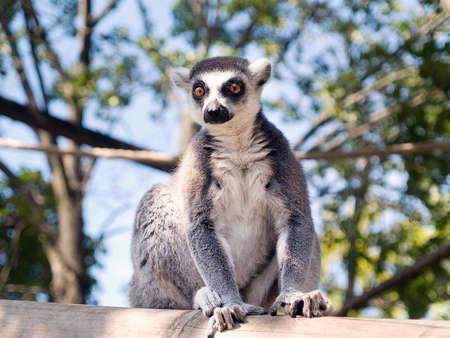 catta: Ring-tailed Lemur (Lemur Catta) Stock Photo