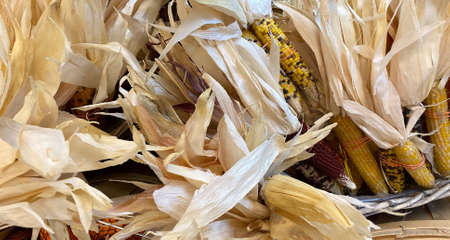 Decorative Flint corn (Zea mays var. indurata; also known as Indian corn or sometimes calico corn) is a variant of maize, the same species as common corn. Great for Thanksgiving table setting.