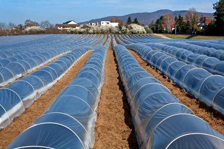 asperges: aspergevelden in het voorjaar bedekt met plastic folie