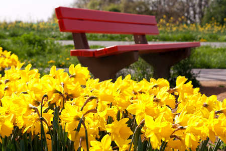 yellow narcissuses in front of a red park bank