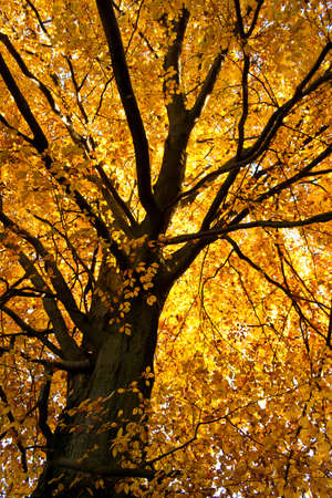 beech wood: autumn tree with golden leaves in sunlight Stock Photo