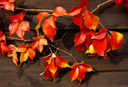 colored red leaves of virginian creeper on wood