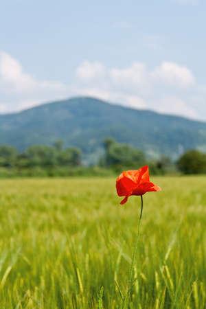 A single poppy in a corn field