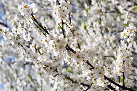 Branches with white cherry blossom in spring Stock Photo
