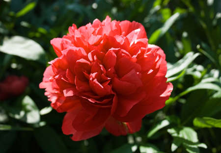 Peony flower closeup, backlit by the morning sun Stock Photo