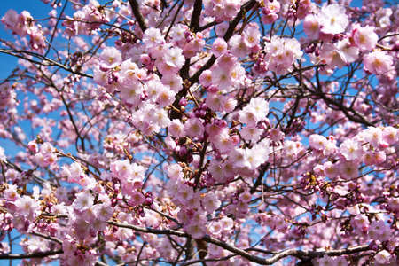 Branches with pink cherry blossom in spring Stock Photo