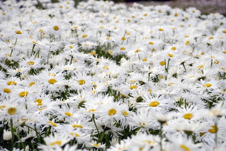 white daisy field photo