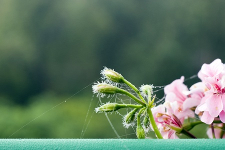 pelargonium: pink Pelargonium in the morning