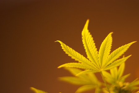rastafari: Nice leaf of medical cannabis Stock Photo