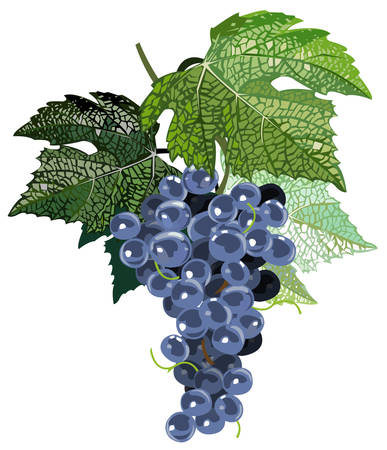 concord: Black grapes with leaves Illustration