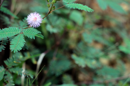 Mimosa Pudica (sensitive plant, sleepy plant, shy plant, touch me not) is showing purple blooming flower, known for its rapid plant movement as closes during darkness and reopens in light. Standard-Bild