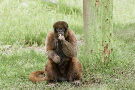 loja: wooly monkey eating a sucker