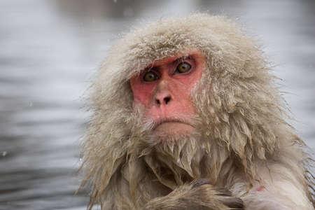 Japanese Macaque, Jigokudani Monkey Park, Snow monkey Stock Photo - 17020394