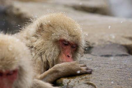 Japán makákó, Jigokudani Monkey Park, Snow majom Stock fotó