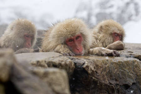 Sad Snow Monkey in hot pool Japanese Macaque, Jigokudani Monkey Park, Snow monkey Stock Photo - 17020391