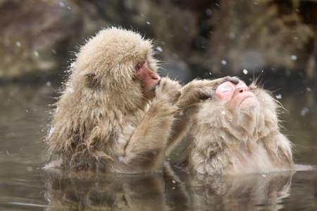 Snow monkeys grooming in hot springJapanese Macaque, Jigokudani Monkey Park, Snow monkey