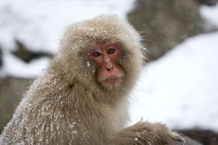 Japanese Macaque, Jigokudani Monkey Park, Snow monkey