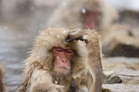 Thinking  Snow Monkey in hot pool Japanese Macaque, Jigokudani Monkey Park, Snow monkey Stock Photo - 17020433