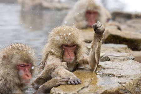 Angry Snow Monkey in hot pool Japanese Macaque, Jigokudani Monkey Park, Snow monkey photo