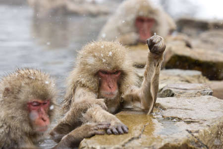 Angry Snow Monkey in hot pool Japanese Macaque, Jigokudani Monkey Park, Snow monkey Stock Photo - 17020399