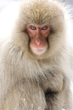 Japanese Macaque, Jigokudani Monkey Park, Snow monkey looking directly at the camera with backlight  Stock Photo