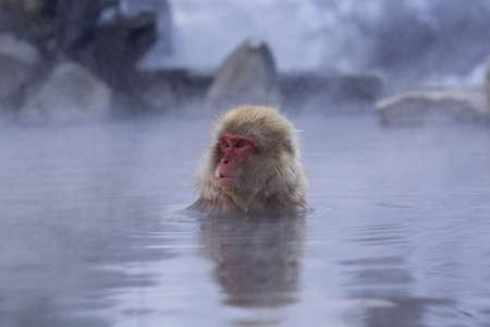 Snow Monkey in hot spring Japanese Macaque, Jigokudani Monkey Park, Snow monkey Stock Photo - 17020388