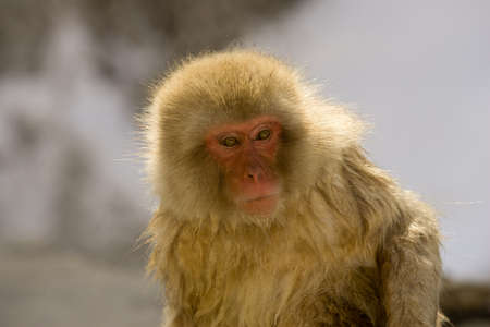 Japanese Snow monkey backlite close up on face showing expression