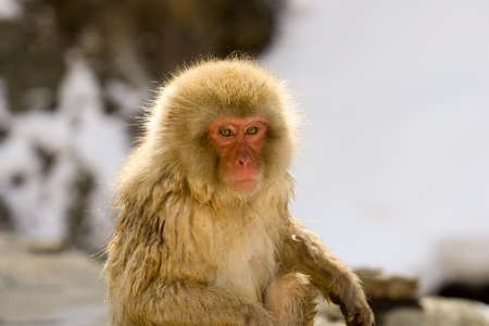 backlite: Japanese Snow monkey backlite, close up on face showing expression