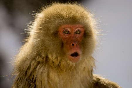 backlite: Japanese Snow monkey backlite, close up on face showing expression