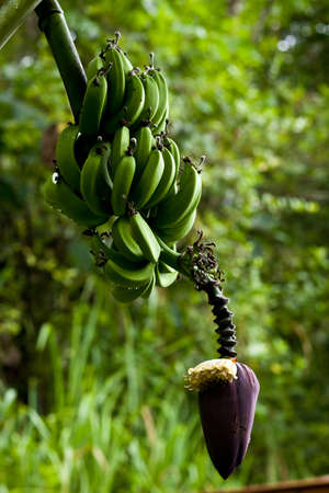 Green Banana on tree Stock Photo - 17152055
