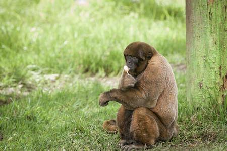 loja: mono lanudo disfrutar comiendo un caramelo lech�n por un �rbol