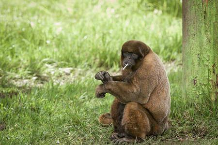 gyapjas majom élvezi eszik édességet balek egy fa Stock fotó