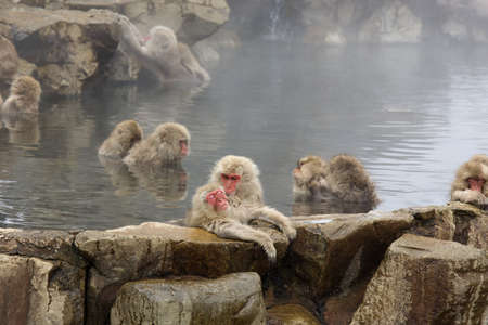 Japanese snow monkeys grooming in hot pool Japanese Macaque, Jigokudani Monkey Park, Snow monkey Stock Photo