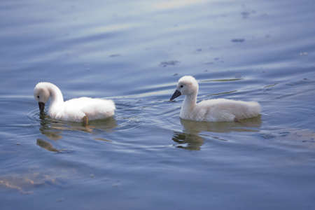 Two young swans swimming cygnets or chicks  Stock Photo