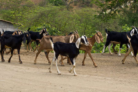close-up of goat with herd in background on dusty road Stock Photo