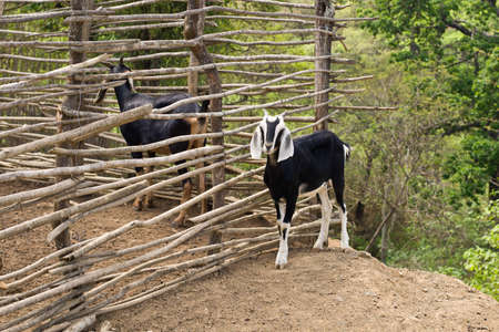 loja: close-up of goat with green forest in backgroud on dusty road Stock Photo