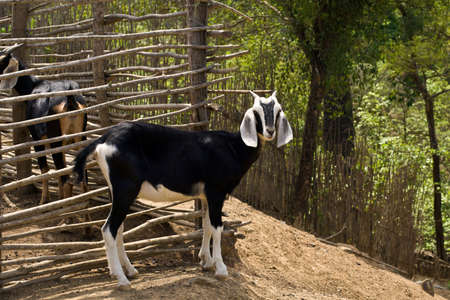 close-up of goat with green forest in backgroud on dusty road Stock Photo