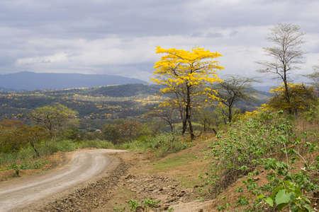 loja: LAPOTILLO LOJA ECUADOR ,Feb 02, 2013.  Guayacanes (lignum vitae) bloming near Lapotillo Ecuador Feb 02 2013.  These trees only bloom 5 days every year, Editorial