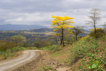 loja: LAPOTILLO LOJA ECUADOR, Feb 02, 2013. Guayacanes (lignum vitae) bloming cerca Lapotillo Ecuador 02 de febrero 2013. Estos �rboles florecen s�lo 5 d�as cada a�o,