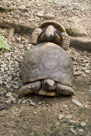 A small and medium sized Tortoise copulating