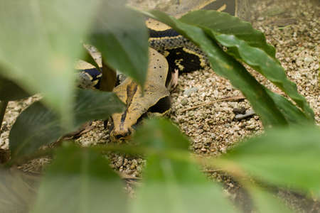 constrictor: Boa Constrictor in green plants