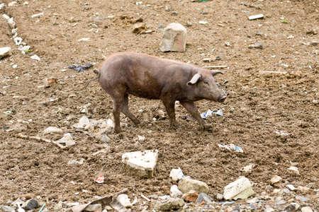 Brown pig Walking on dirt, rocks