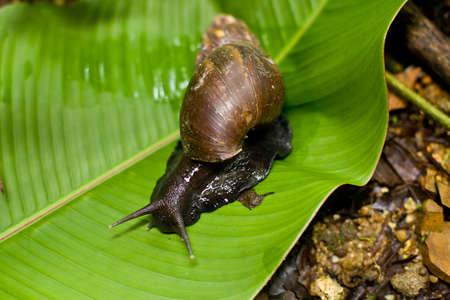 Land snail outside on green leaf